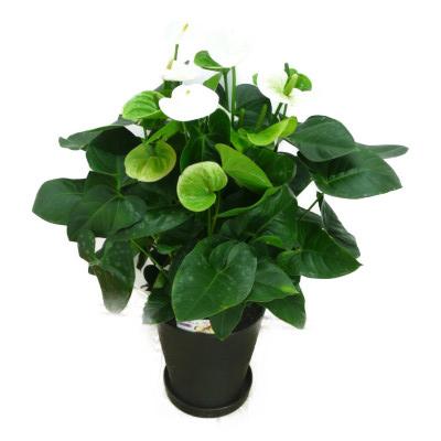 観葉植物 アンスリウム 白 ホワイト 10号鉢(尺鉢)(特大サイズ) セラアート鉢 黒丸鉢 受け皿付き ギフト対応