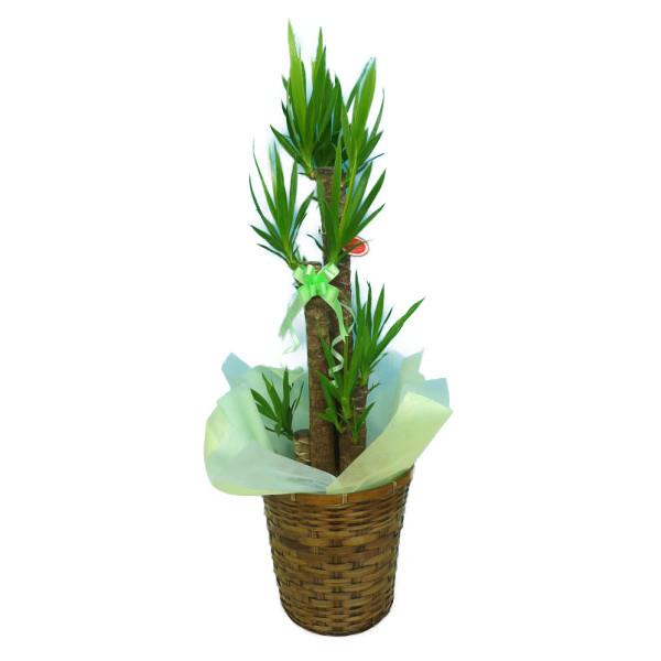 観葉植物 ユッカ エレファンティペス 青年の樹 8号鉢茶かご 受け皿付き ブラウンバスケット 高さ100~120cm程度 中型 大型 インテリアグリーン ギフト 寒さに強い