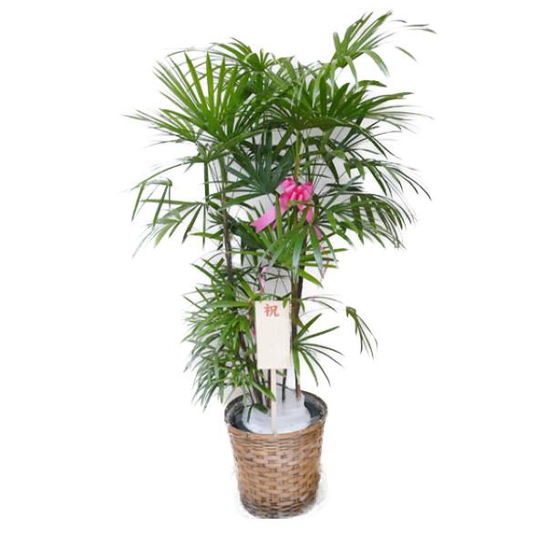 【個人宛配送不可】 観葉植物 シュロチク 10号鉢 ブラウンバスケット 大鉢 受皿付