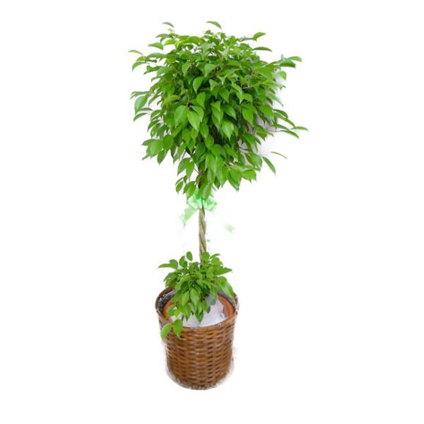 【個人宛配送不可】 観葉植物 フィカス ベンジャミン 10号鉢 茶かご 受け皿付き ブラウンバスケット 高さ150~160cm程度 大型 インテリアグリーン ギフト ゴムの木 寒さに強い