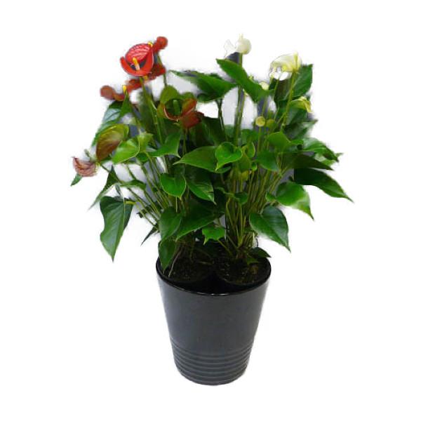 観葉植物 アンスリウム 紅白2色植え 8号鉢 黒陶器鉢 丸鉢 受け皿付き 高さ70~80cm程度 中型 大型 インテリアグリーン ギフト (アンスリューム) 南国風 トロピカル