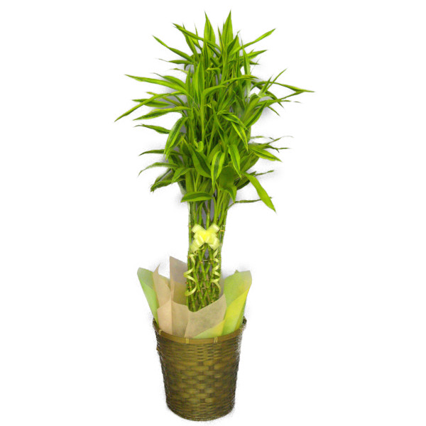 観葉植物ドラセナ サンデリアーナ 幸運の竹 ミリオンバンブー ラッキーバンブー 8号鉢 茶かご 受け皿付き ブラウンバスケット 高さ90~120cm程度 中型 大型 インテリアグリーン ギフト