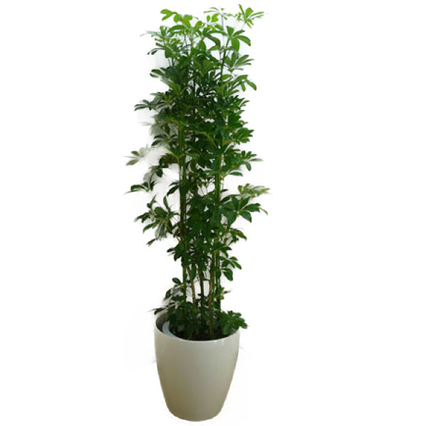 【個人宛配送不可】 観葉植物 シェフレラ ホンコン カポック 10号鉢 白ラスターポット 受け皿付き 高さ150~180cm程度 大型 インテリアグリーン ギフト 寒さに強い