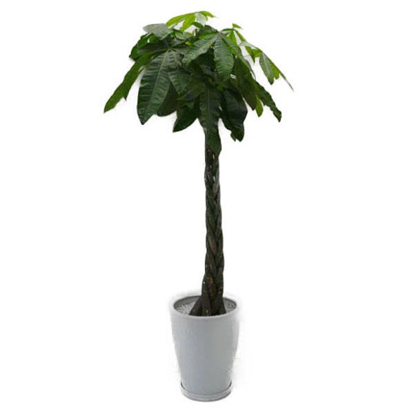 【個人宛配送不可】 観葉植物 パキラ 発財樹 10号鉢 白陶器鉢 丸鉢 受け皿付き 高さ160~180cm程度 大型 インテリアグリーン ギフト 寒さに強い