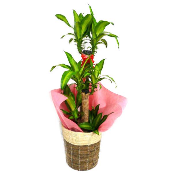 観葉植物 幸福の木 ドラセナ フレグランス マッサンゲアナ 8号鉢 2色かご 受け皿付き ツートンバスケット 高さ100~120cm程度 中型 大型 インテリアグリーン ギフト