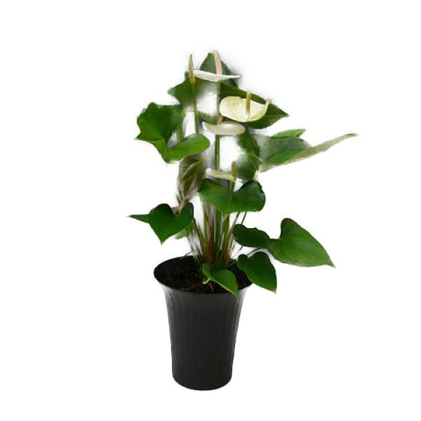 観葉植物 アンスリウム 白 6号鉢 黒丸鉢 セラアート鉢 受け皿付き