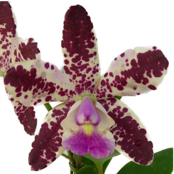 【花なし株】 カトレア C.Jungle Gem x C.Mishima Chip 交配種 3号鉢 25cm 開花サイズ(BS)