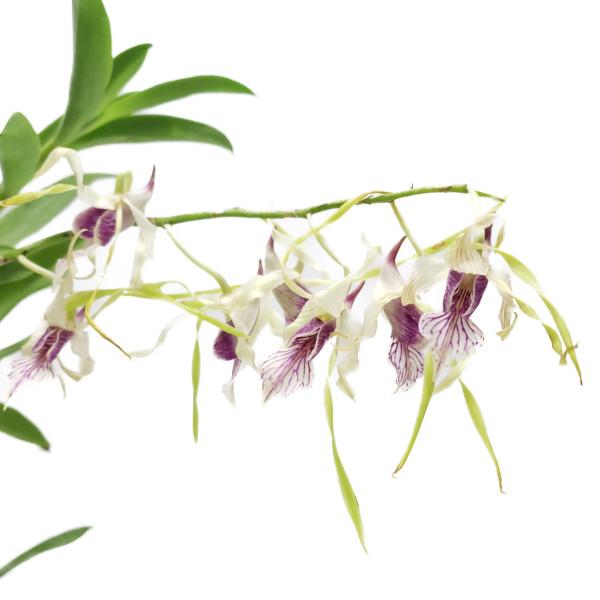 【花なし株】 デンドロビューム ストラティオテス Den.stratiotes 原種 5号鉢 60cm 開花サイズ(BS)