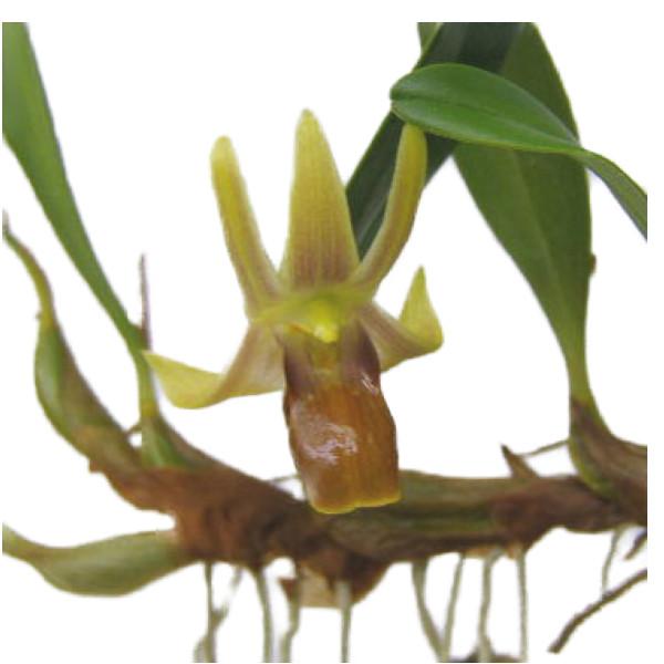 【花なし株】 エピゲニューム ナカハラエ Epig.nakaharae 原種 3号鉢 15cm 開花サイズ(BS)
