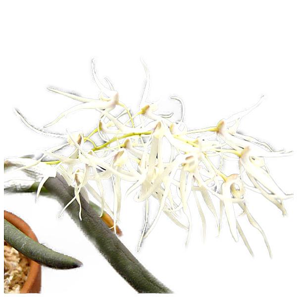 【花なし株】 デンドロビューム グリメシー Den.grimesii 原種 芳香あり 3号鉢 15cm 開花サイズ(BS)