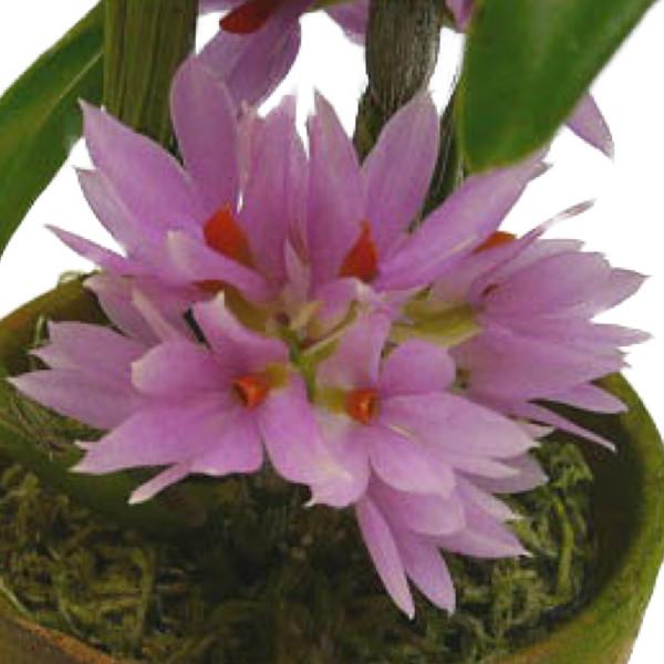 メーカー直送 花持ちが非常に長いデンドロ原種 花なし株 デンドロビューム ブラクテオサム ピンク Den.bracteosum 内祝い 原種 BS Pink 3号鉢 30cm 開花サイズ