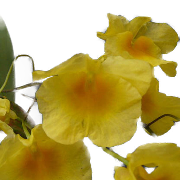花なし株 デンドロビューム リンドレイ 'フロリダサンシャイン' Den.lindley 'Florida Sunshine' HCC 全店販売中 AOS =Den 開花サイズ majus`Florida 新色 Sunshine' 原種 var. aggregatum BS 15cm 3号鉢