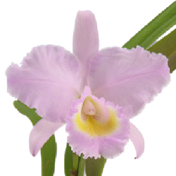 【花なし株】 カトレア トリアネイ 'オリオン' C.trianaei 'Orion' 原種 3.5号鉢 35cm 開花サイズ(BS)