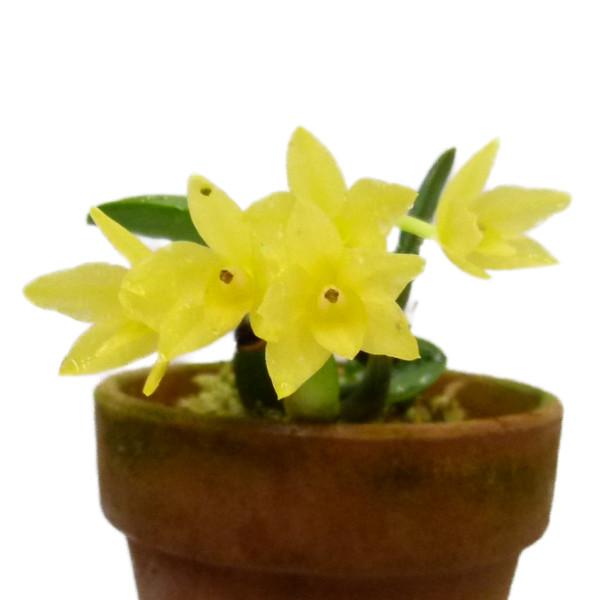 【花なし株】 カトレア セルヌア オーレア C.(S.)cernua var. aurea 原種 2.5号鉢 10cm 開花サイズ(BS)