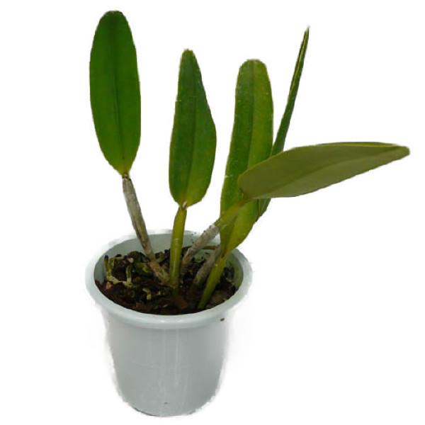 【花なし株】 カトレア マキシマ C.maxima (('Suwada'x'Fukue')x'Suwada'BM/JOGA) 原種