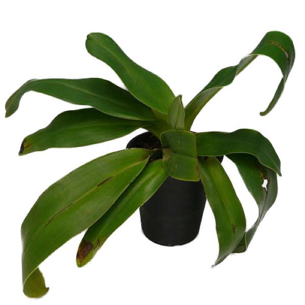 【花なし株】 パフィオペディラム プラチフィラム 'ルースケネディー' Paph.platyphyllum 'Ruth Kenney' AM/AOS 原種 5号鉢 25cm 開花サイズ(BS)