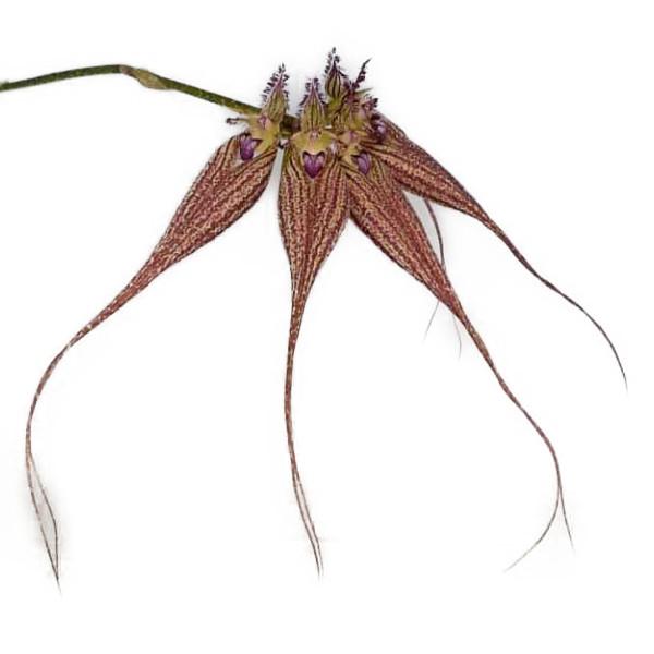 花なし株 バルボフィラム 18%OFF ラブリー エリザベス Bulb.Lovely 安全 Elizabeth BS 20cm 3号鉢 開花サイズ 交配種