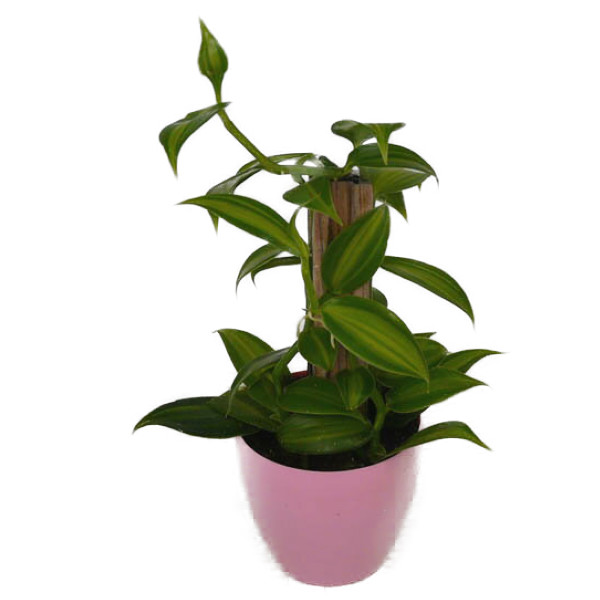 花なし株 バニラ 販売 プラニフォリア Vl.planifolia 木には付いていません 原種 値下げ 25cm BS 開花サイズ 芳香あり 3号鉢