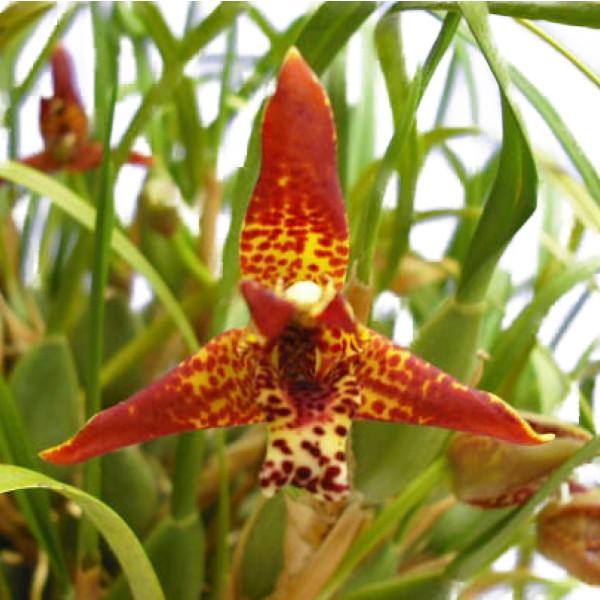 花なし株 マキシラリア テヌイフォリア 送料無料でお届けします Max.tenuifolia 原種 25cm 芳香あり 開花サイズ 定番から日本未入荷 3号鉢 BS