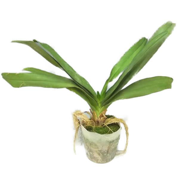 【花なし株】 エランテス ラモサ Aerth.ramosa 原種 3号鉢 30cm 開花サイズ(BS)