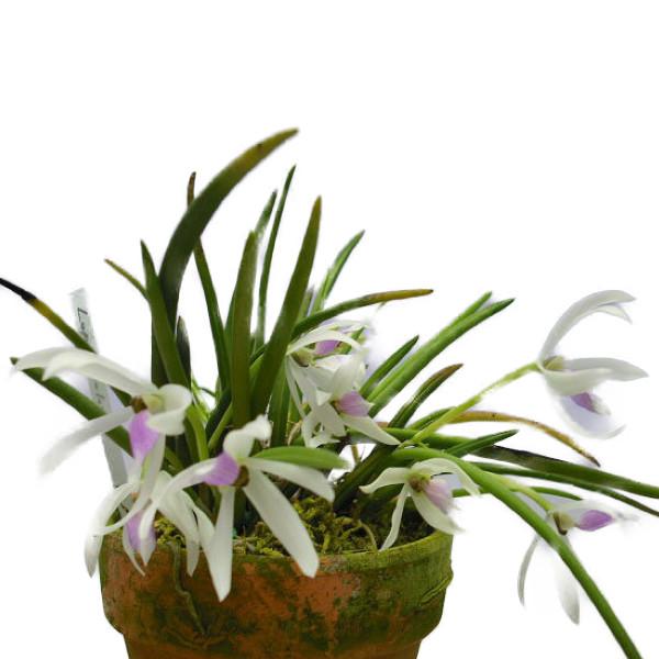 花なし株 永遠の定番モデル レプトテス ビカラー 'ジュン' Lpts.bicolor 'Jun' BM ランキングTOP10 JOGA 開花サイズ 2.5号鉢 15cm 原種 BS