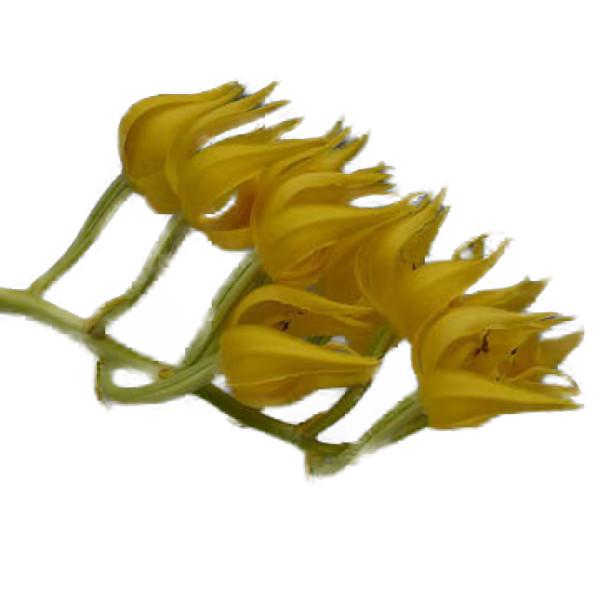 【花なし株】 モルモデス マクラタム ユニカラー Mor.maculatum var. unicolor 原種 芳香あり 3号鉢 30cm 開花サイズ(BS)