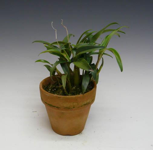 dendorobyumukingianamushirukokki Den.kingianum var.silcockii