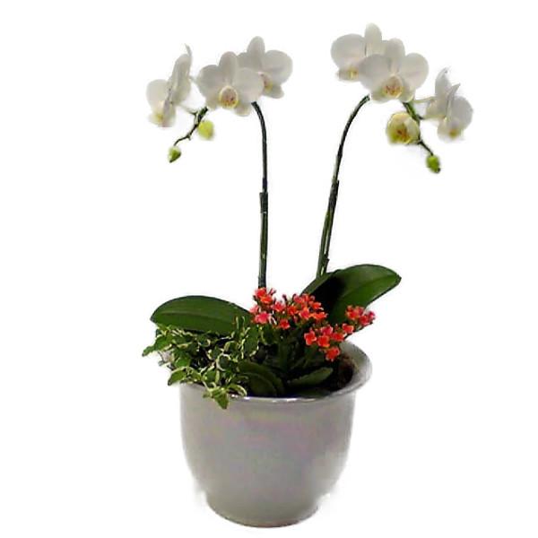 ミディ胡蝶蘭と季節の鉢花寄せ植え