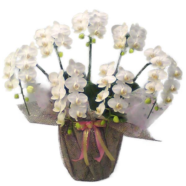 ミディ胡蝶蘭 アマビリス 白 7本立ち 50輪以上