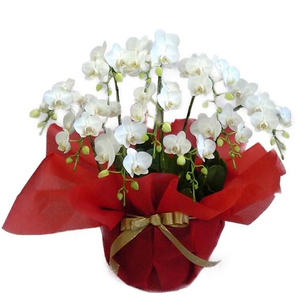 ミディ胡蝶蘭 アマビリス 白 10本立ち 70輪以上