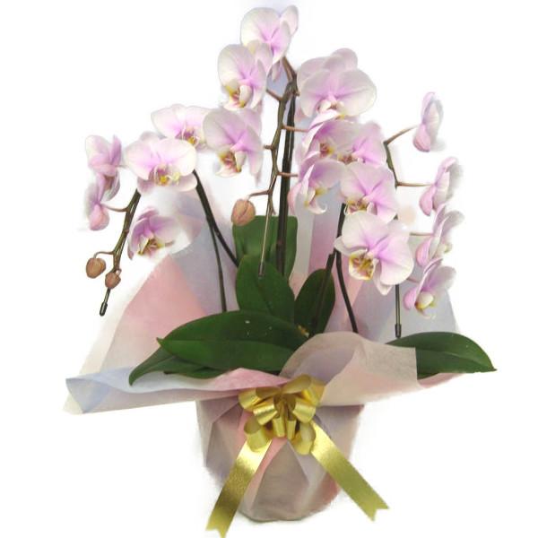 ミディ胡蝶蘭 桜ピンク 3本立ち 22輪以上 時期によって品種が変わるため花の色は多少かわります
