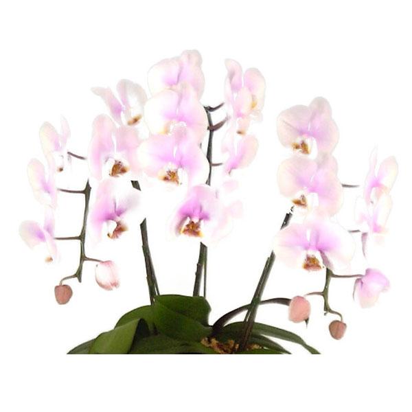 ミディ胡蝶蘭 桜ピンク 10本立ち 70輪以上 時期によって品種が変わるため花の色は多少かわります