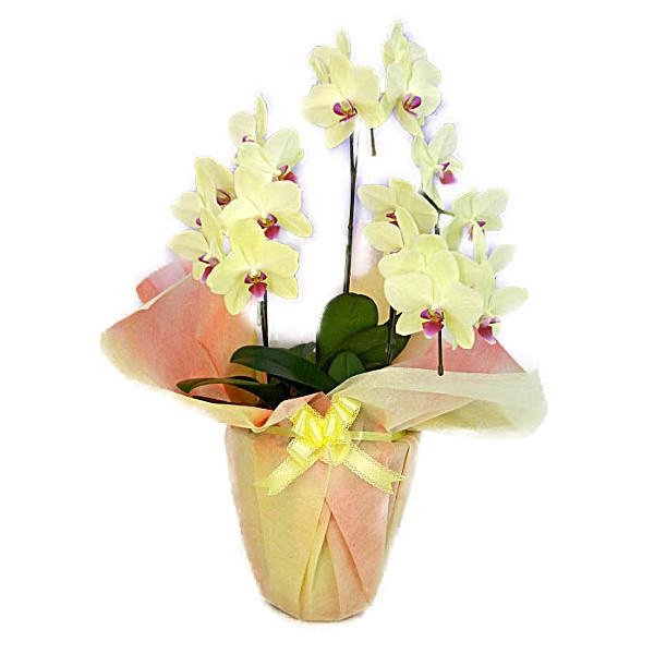 最安値に挑戦 黄色のミニ胡蝶蘭でお部屋が明るくなります 送料無料 ミディ胡蝶蘭 イエロー いよいよ人気ブランド 3本立ち 16輪以上