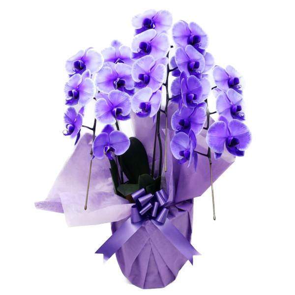 【満開】胡蝶蘭 大輪 パープルエレガンス 紫 3本立ち 21輪