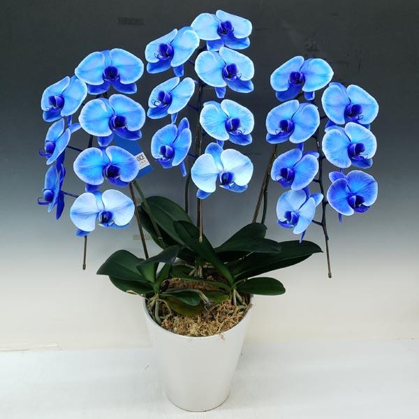 【花満開】胡蝶蘭 大輪 ブルーエレガンス 青 3本立ち 21輪