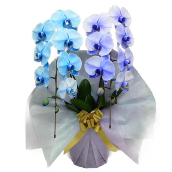 胡蝶蘭 大輪 ブルーエレガンス パープルエレガンス 青 紫 2本立ち