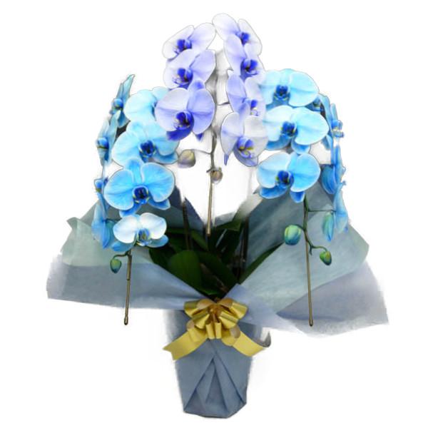 胡蝶蘭 大輪 ブルーエレガンス パープルエレガンス 青 紫 3本立ち