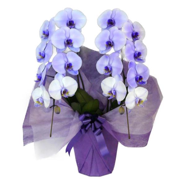 胡蝶蘭 大輪 パープルエレガンス 紫 2本立ち