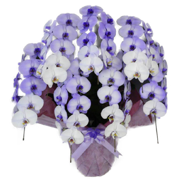 胡蝶蘭 大輪 パープルエレガンス 紫 7本立ち