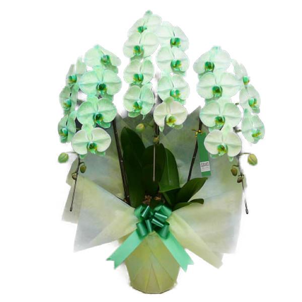 胡蝶蘭 大輪 グリーンエレガンス 緑 3本立ち