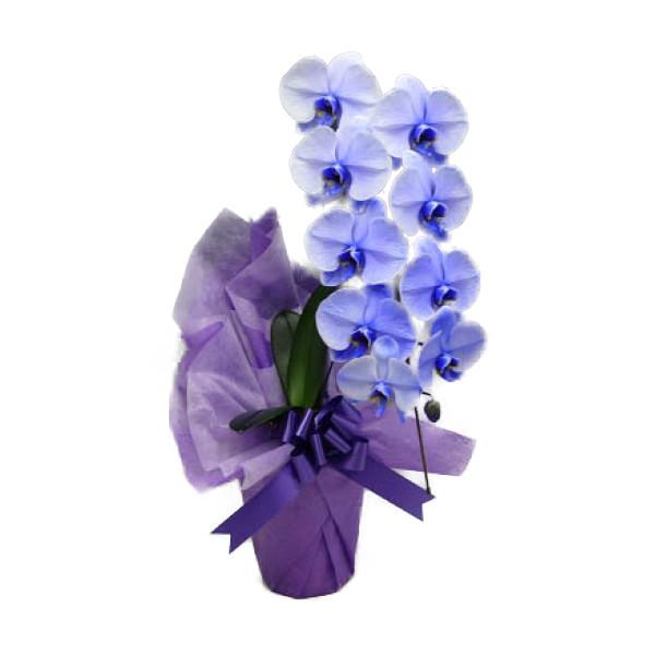 胡蝶蘭 大輪 パープルエレガンス 紫 1本立ち