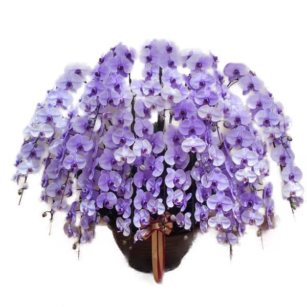 胡蝶蘭 大輪 パープルエレガンス 紫 20本立ち 花の色が選べます