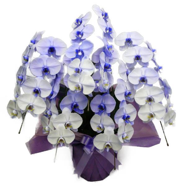 胡蝶蘭 大輪 パープルエレガンス 紫 5本立ち