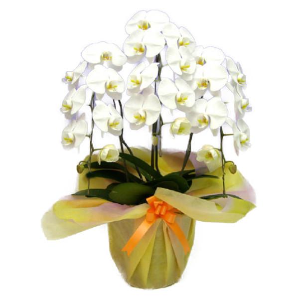御祝いに最適です 送料無料 日本 胡蝶蘭 新品未使用正規品 大輪 3本立ち 白 25輪以上