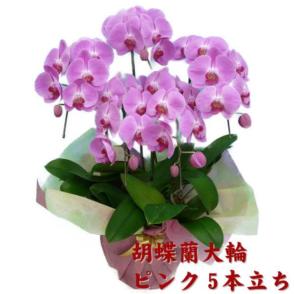 胡蝶蘭 ピンク 5本立ち 37輪以上