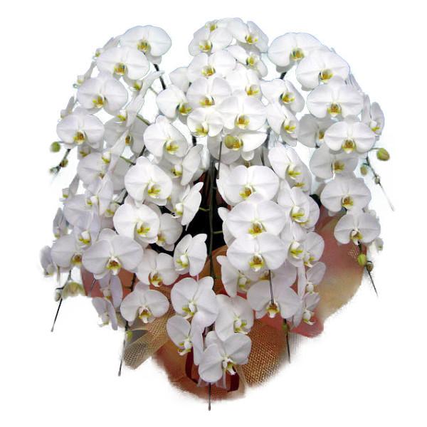 胡蝶蘭 大輪 白 10本立ち 100輪以上 北海道・沖縄・離島への発送はできません。
