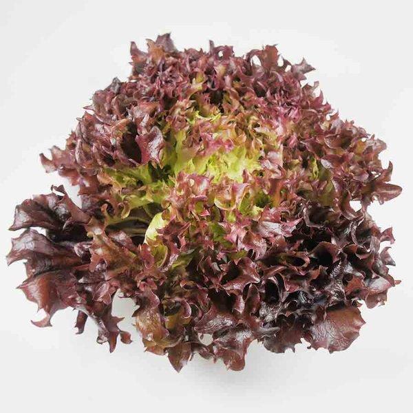 期間限定 根元を切るだけで葉がバラバラに サラノバ トレンド レッドクリスピー フリル