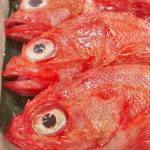高級魚!釣りキンキ【送料無料】 【鮮度抜群!最高級のキンキをお届します。煮付け・塩焼が最高!】約1kg前後(3尾)【楽ギフ_のし】送料無料