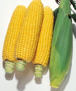 甘くて良質な キャンベラ シリーズの中早生種 正規取扱店 スイートコーン種子 キャンベラ86 野菜の種 タキイ 豊富な品 2000粒 スイートコーン種