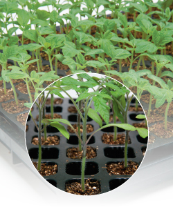 【郵便送料無料】グリーンフォース トマト用台木 種子 1000粒 【タキイのタネ】【台木用種子】